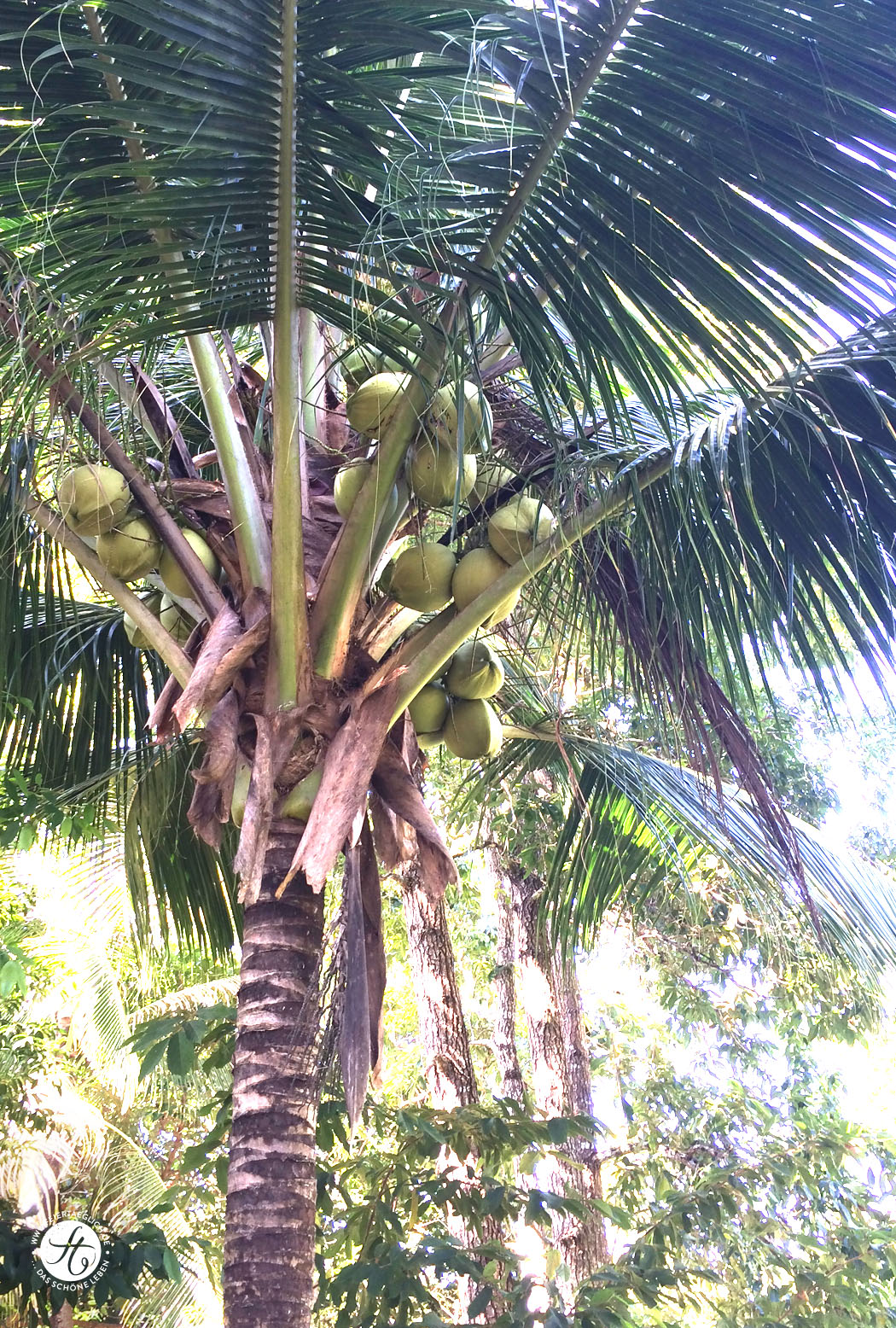 Kokospalme Thailand